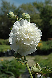 Chater's Double White Hollyhock (Alcea rosea 'Chater's Double White') at Van Atta's Greenhouse