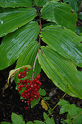False Solomon's Seal (Smilacina racemosa) at Van Atta's Greenhouse