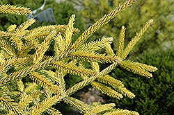 Skylands Golden Spruce (Picea orientalis 'Skylands') at Van Atta's Greenhouse