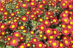 Red Daisy Chrysanthemum (Chrysanthemum 'Red Daisy') at Van Atta's Greenhouse