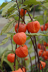Chinese Lantern (Physalis franchetii) at Van Atta's Greenhouse