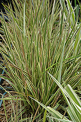 Northern Lights Tufted Hair Grass (Deschampsia cespitosa 'Northern Lights') at Van Atta's Greenhouse