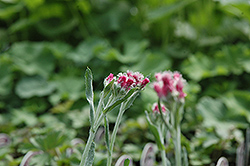 Red Pussytoes (Antennaria dioica 'Rubra') at Van Atta's Greenhouse