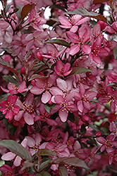 Royal Raindrops Flowering Crab (Malus 'Royal Raindrops') at Van Atta's Greenhouse