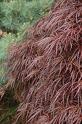 Red Select Cutleaf Japanese Maple (Acer palmatum 'Dissectum Red Select') at Van Atta's Greenhouse