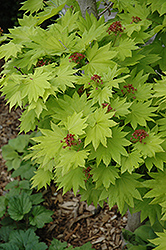 Golden Fullmoon Maple (Acer japonicum 'Aureum') at Van Atta's Greenhouse