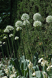 Mount Everest Ornamental Onion (Allium 'Mount Everest') at Van Atta's Greenhouse