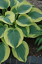 Liberty Hosta (Hosta 'Liberty') at Van Atta's Greenhouse