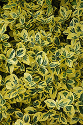 Emerald 'n' Gold Wintercreeper (Euonymus fortunei 'Emerald 'n' Gold') at Van Atta's Greenhouse
