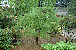 Cutleaf Japanese Maple (Acer palmatum 'Dissectum') at Van Atta's Greenhouse