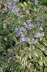 Touch Of Class Jacob's Ladder (Polemonium reptans 'Touch Of Class') at Van Atta's Greenhouse