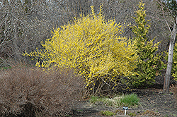 Northern Gold Forsythia (Forsythia 'Northern Gold') at Van Atta's Greenhouse