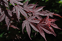 Crimson Prince Japanese Maple (Acer palmatum 'Crimson Prince') at Van Atta's Greenhouse