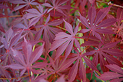 Sherwood Flame Japanese Maple (Acer palmatum 'Sherwood Flame') at Van Atta's Greenhouse
