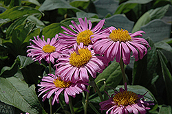 Pinkie Alpine Aster (Aster alpinus 'Pinkie') at Van Atta's Greenhouse