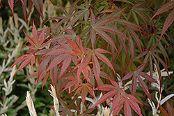 Dwarf Red Pygmy Japanese Maple (Acer palmatum 'Red Pygmy') at Van Atta's Greenhouse