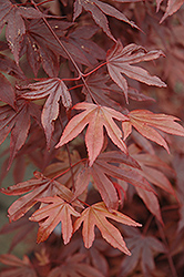 Fireglow Japanese Maple (Acer palmatum 'Fireglow') at Van Atta's Greenhouse
