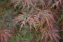 Orangeola Cutleaf Japanese Maple (Acer palmatum 'Orangeola') at Van Atta's Greenhouse