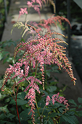 Ostrich Plume Astilbe (Astilbe x arendsii 'Ostrich Plume') at Van Atta's Greenhouse