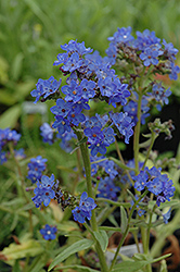 Blue Angel Summer Forget-Me-Not (Anchusa capensis 'Blue Angel') at Van Atta's Greenhouse