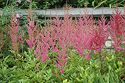 Visions in Pink Chinese Astilbe (Astilbe chinensis 'Visions in Pink') at Van Atta's Greenhouse