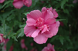 Lucy Rose Of Sharon (Hibiscus syriacus 'Lucy') at Van Atta's Greenhouse