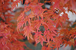 Lions Head Japanese Maple (Acer palmatum 'Shishigashira') at Van Atta's Greenhouse