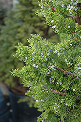Hollywood Juniper (Juniperus chinensis 'Torulosa') at Van Atta's Greenhouse
