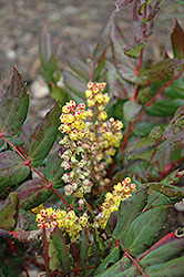 Oregon Grape Holly (Mahonia nervosa) at Van Atta's Greenhouse