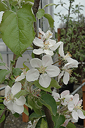 Gala Apple (Malus 'Gala') at Van Atta's Greenhouse
