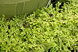 Golden Spikemoss (Selaginella kraussiana 'Aurea') at Van Atta's Greenhouse
