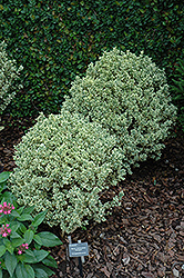 Variegated Boxwood (Buxus sempervirens 'Variegata') at Van Atta's Greenhouse
