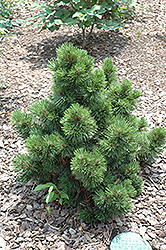 Irish Bell Bosnian Pine (Pinus heldreichii 'Irish Bell') at Van Atta's Greenhouse