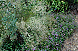 Mexican Feather Grass (Nassella tenuissima) at Van Atta's Greenhouse