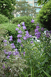 Canterbury Bells (Campanula medium) at Van Atta's Greenhouse