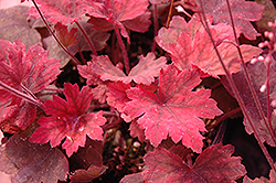 Sweet Tea Foamy Bells (Heucherella 'Sweet Tea') at Van Atta's Greenhouse