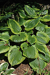 Sum Of All Hosta (Hosta 'Sum Of All') at Van Atta's Greenhouse