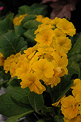 Supernova Golden Yellow Primrose (Primula 'Supernova Golden Yellow') at Van Atta's Greenhouse