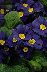 Supernova Blue Primrose (Primula 'Supernova Blue') at Van Atta's Greenhouse