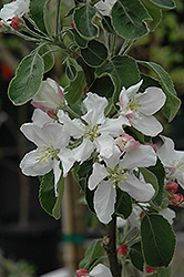 Granny Smith Apple (Malus 'Granny Smith') at Van Atta's Greenhouse