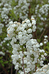 Bridalwreath Spirea (Spiraea prunifolia) at Van Atta's Greenhouse