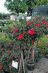 Knock Out® Rose Tree (Rosa 'Radrazz') at Van Atta's Greenhouse