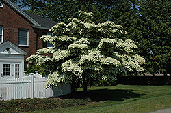 Chinese Dogwood (Cornus kousa) at Van Atta's Greenhouse