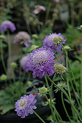 Blue Note Pincushion Flower (Scabiosa 'Blue Note') at Van Atta's Greenhouse