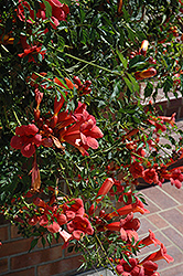 Flamenco Trumpetvine (Campsis radicans 'Flamenco') at Van Atta's Greenhouse