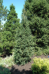 Columnar Norway Spruce (Picea abies 'Cupressina') at Van Atta's Greenhouse