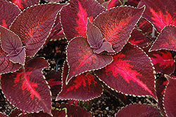 ColorBlaze® Kingswood Torch Coleus (Solenostemon scutellarioides 'Kingswood Torch') at Van Atta's Greenhouse
