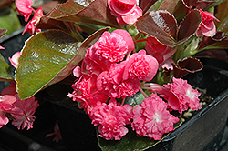 Doublet Rose Begonia (Begonia 'Doublet Rose') at Van Atta's Greenhouse