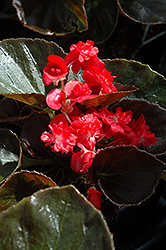 Doublet Red Begonia (Begonia 'Doublet Red') at Van Atta's Greenhouse