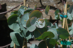 Silver Dollar Gum (Eucalyptus cinerea) at Van Atta's Greenhouse
